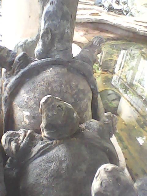 kura-kura belawa cirebon diawetkan