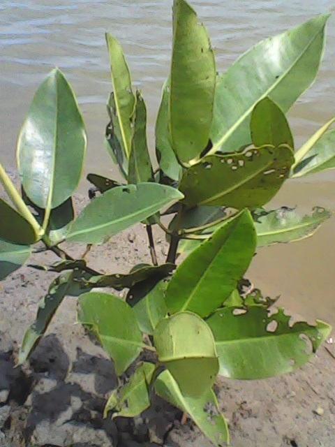 Observasi Hutan Mangrove Cirebon