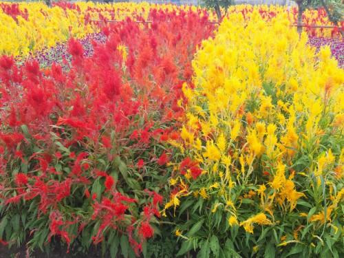 bunga-gelosia-red